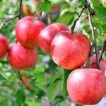 りんご 重さ 平均